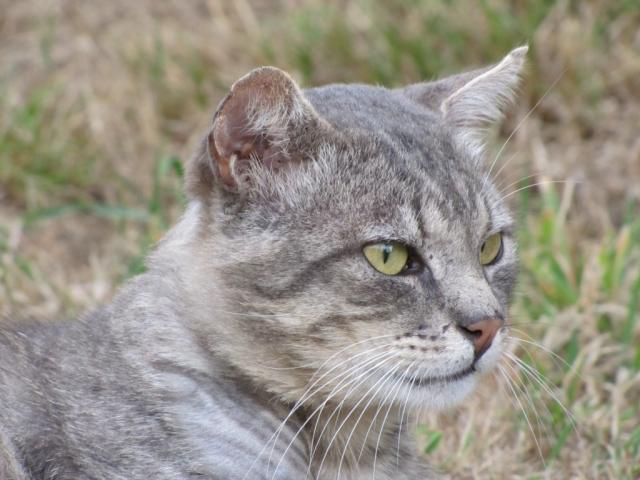 Spider chat tigré gris mâle FIV+ de 08/2005 - dpt 56 Img_0263-1eb8c64