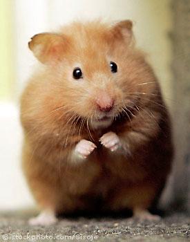 Direction à crémaillère pour un guidon hamster? Hamster_1301300-468aaa